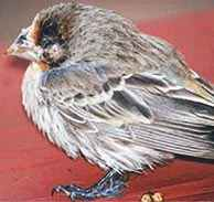 diseases_of_finches.jpg